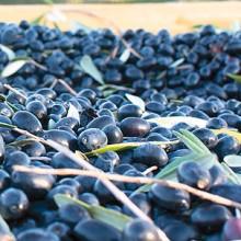 La producción de aceite de oliva desciende con respecto a la pasada campaña