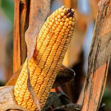 Los precios medios de los cereales continúan a la baja