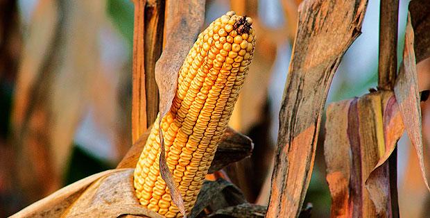 mercado-maiz