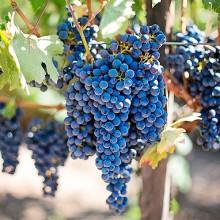 4.173 hectáreas de nuevas plantaciones de viñedo en 2016