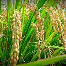 El cultivo de arroz produce 10.500 t de metano al año