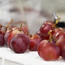 Nueva estrategia de control biológico de la podredumbre de la uva