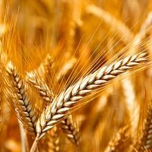 Observatorio del Mercado de Cereales de la UE