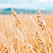 Se prevé una cosecha de cereales de 23,4 millones de toneladas