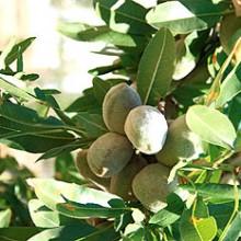 Se reduce la previsión de la cosecha de frutos secos