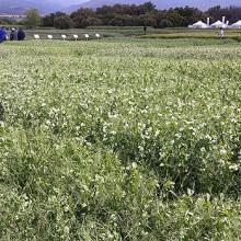 El guisante proteaginoso como alternativa al cereal de invierno