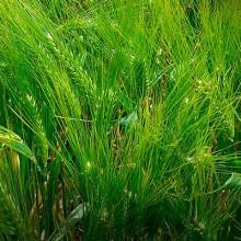 La cebada híbrida se convierte en cultivo de referencia en la UE