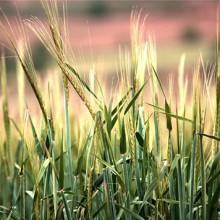 El 15 de junio, último día para asegurar cereales de invierno