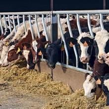 COAG califica de «trampa» la reducción voluntaria de la producción de leche