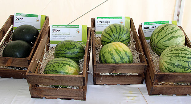 Syngenta-Melon-Sandia-2