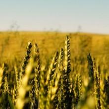 Agosto cierra con variaciones desiguales en los precios de los cereales
