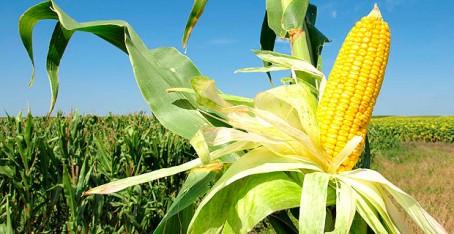 maiz-transgenico