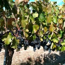 La producción de vino y mosto será de 42 millones de hectólitros