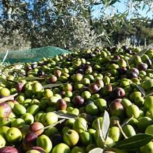 Se prevé una caída del 10% en producción de aceite de oliva