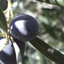 Las exportaciones de aceite de oliva crecen más de un 15%