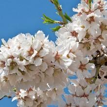 Polinización en frutales: abejas, osmias y otros