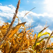La UE puede autorizar nuevos maíces transgénicos