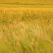 El Copa-Cogeca estima una producción de cereales de 297 millones de toneladas