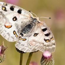 Identifican una mariposa en peligro de extinción en los márgenes florales de cereal