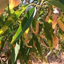 El sector agrario se prepara para nuevos positivos en xylella fastidiosa