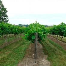 El desarrollo de nuevas variedades de vid permitiría reducir el uso de fitiosanitarios en la producción vinícola
