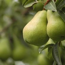La próxima cosecha de Manzana caerá un 4,2%