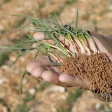 La importancia de la fertilización localizada en los cereales de invierno