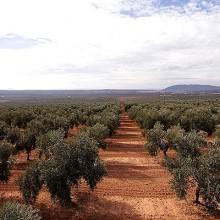 La Junta de Andalucía prevé una producción de 884.900 toneladas de aceite