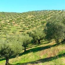 Primer caso de Xylella fastidiosa en olivo, en Madrid