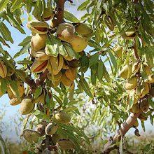 El sector reclama el mantenimiento de las ayudas a los frutos de cáscara