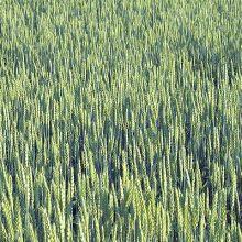 Cooperativas estima una producción de 22,5 millones de toneladas de cereal