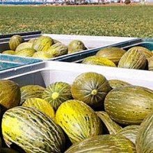 Fruit Logistica, Ferimel y el IPEX celebran una jornada en apoyo al sector del melón