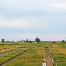 La jornada IRTA sobre el cultivo del arroz celebra 25 años