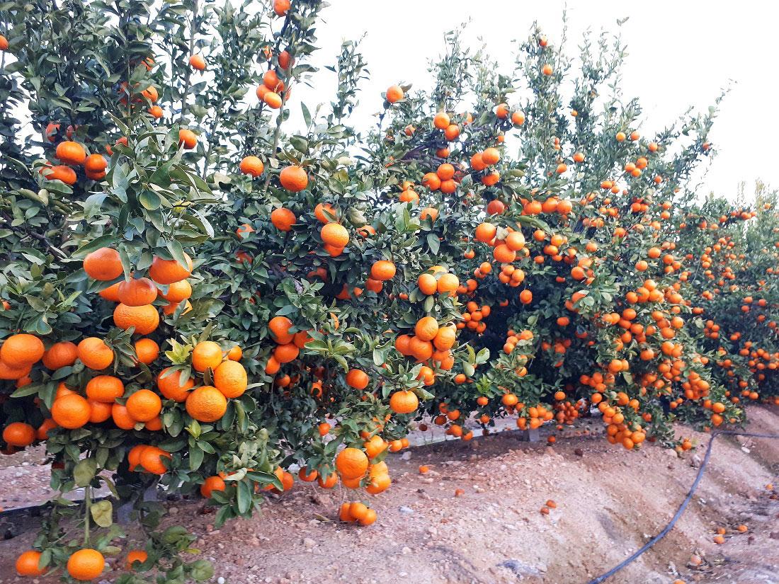 Mandarina Spring Sunshine