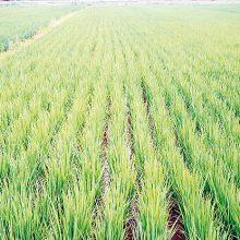 Unión de Uniones denuncia que la CE hace concesiones en el sector del arroz en las negociaciones con Mercosur