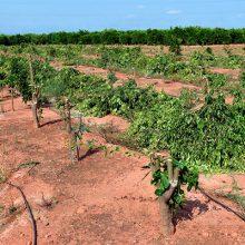 Eliminan 3.000 árboles de mandarina Orri en Valencia y Castellón por su producción ilegal