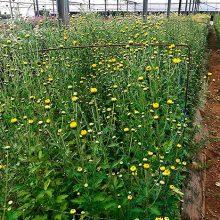 Los productores de flores afrontan «Todos los Santos» sumidos en el pesimismo
