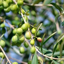 España producirá el 75% del aceite de oliva de la Unión Europea