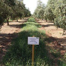 CUVrEN Olivar: beneficios de las cubiertas vegetales de especies nativas en olivar