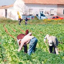 La subida del SMI disparará un 50,4% los costes laborales para los agricultores
