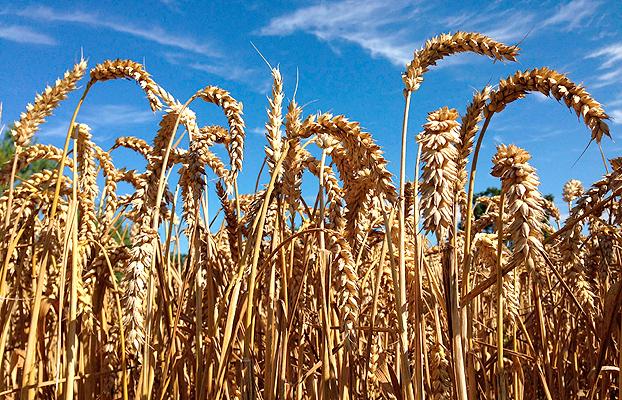 Cooperativas Agro-alimentaria estima una cosecha de 26,7 Mt