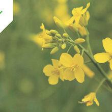 Corteva lanza Belkar, herbicida post-emergencia para colza de invierno
