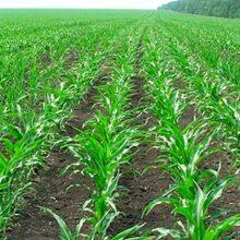 Ecoculture optimiza el uso del nitrógeno y aumenta la producción de maíz