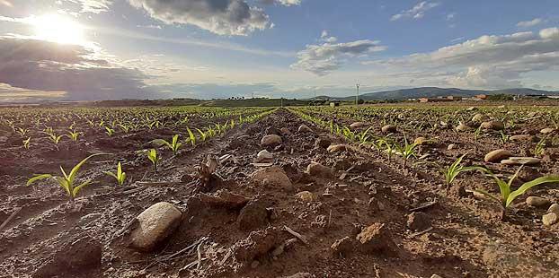 Syngenta presenta sus novedades de herbicida para maíz