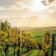 España es el mayor viñedo del mundo